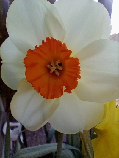 Oh daffodil your blume is so big!