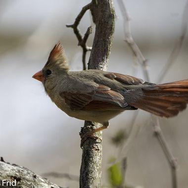 Female Cardinal  DSC_3034-Edit