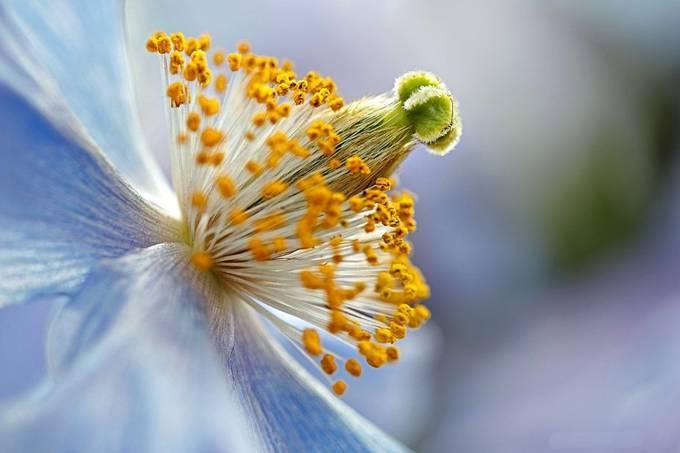 Blue Poppy by petitelion - A Macro World Photo Contest