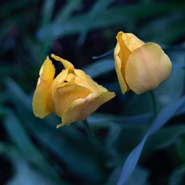 Macro rain drops on tulips