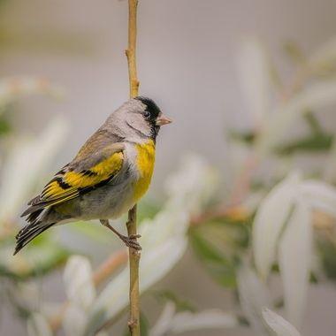 Lawrence's Goldfinch, male DSC07767