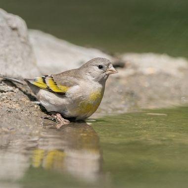 Lawrence's Goldfinch female DSC07824