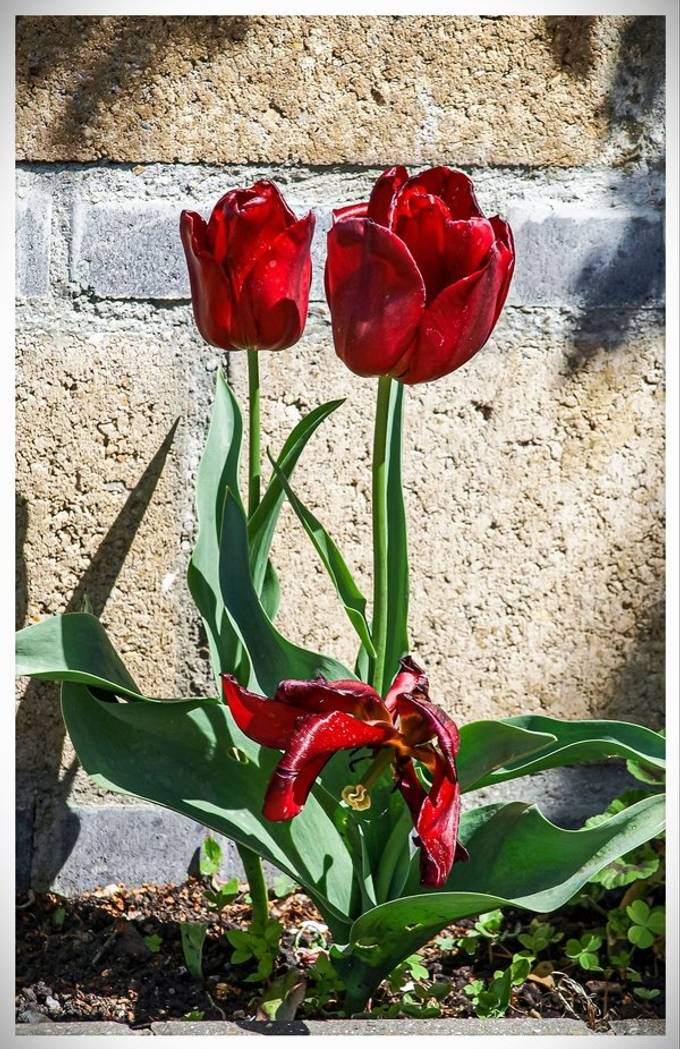 Red Tulips in Sunshine