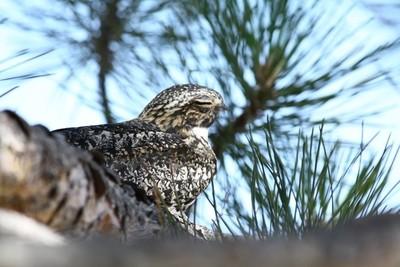 Common Nighthawk Napping