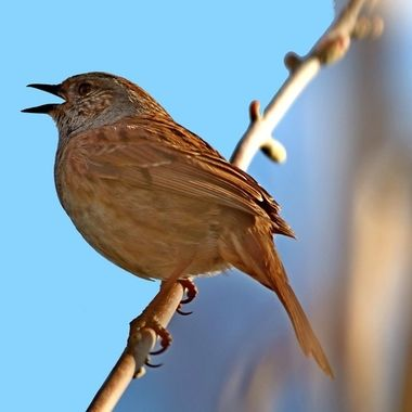 The Dunnock, Prunella modularis, is sometimes incorrectly called a hedge sparrow, a small passerine, or perching bird, found throughout temperate Europe and into Asia. Part of the accentor family that favour insects and small seeds. Dunnocks have also been successfully introduced into New Zealand.