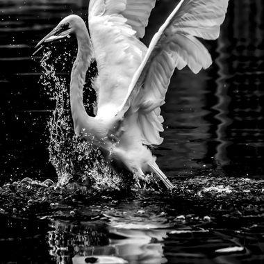 B&W Egret