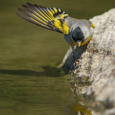 Lawrence's Goldfinch male DSC08707