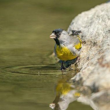 Lawrence's Goldfinch male DSC08722