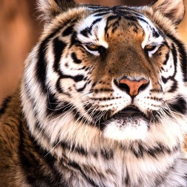 Tiger - his colors are magnificent. He demands and gets respects from the rest of the Tigers