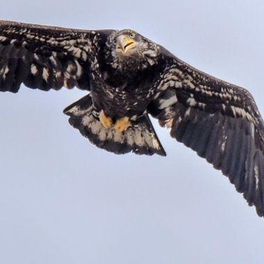 A Bald Eagle having a look at Stump Lake B C
