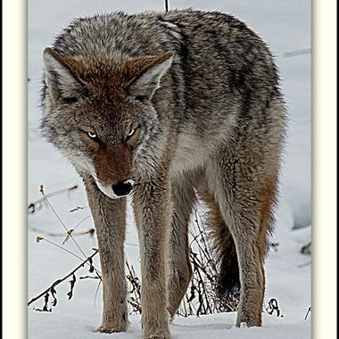 Coyote looking a tad annoyed.