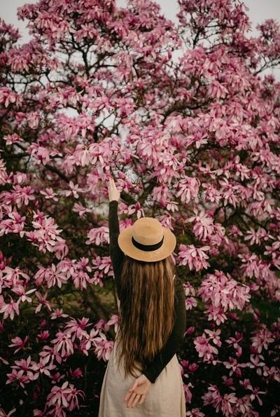 Japanese Magnolias Blossoms iii
