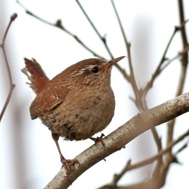 "Wrens are a family of brown passerine birds in the predominantly New World family Troglodytidae.  Only the Eurasian wren occurs in the Old World, where, in Anglophone regions, it is commonly known simply as the ""wren"", as it is the originator of the name."