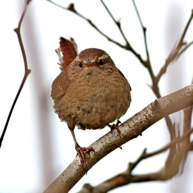 """Wrens are a family of brown passerine birds in the predominantly New World family Troglodytidae.  Only the Eurasian wren occurs in the Old World, where, in Anglophone regions, it is commonly known simply as the """"wren"""", as it is the originator of the name."""