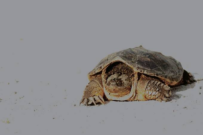 Turtle_HDR1986