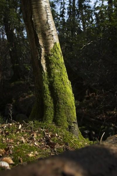 Moss on Birch