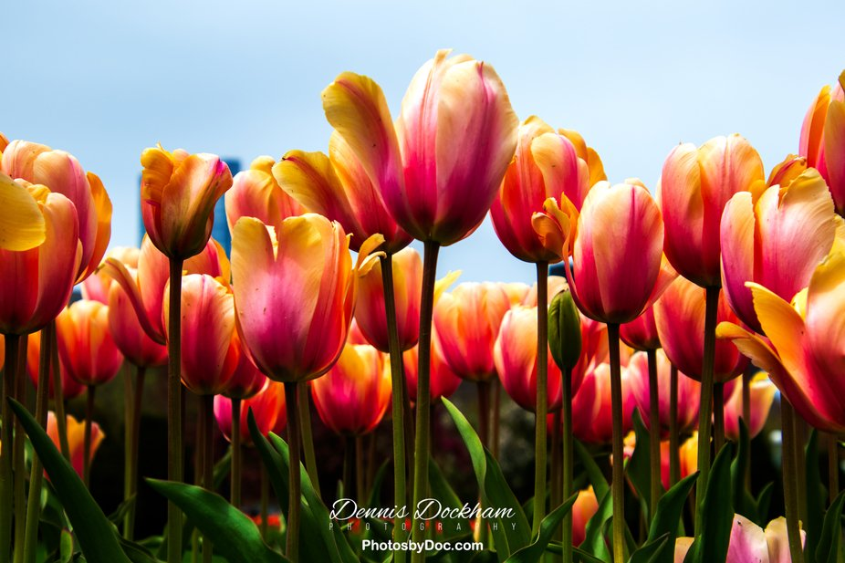 The annual Tulips at The Boston Public Gardens always a great opportunity to feel the spring air ...