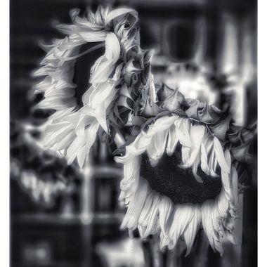 Languid sunflowers
