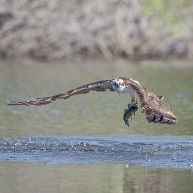 Osprey with fish DSC03211