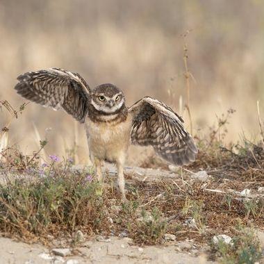 Burrowing Owl fledgling DSC00701