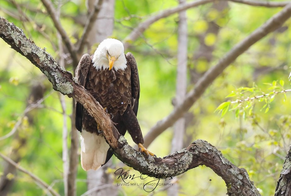 This Adult Eagle put on a show with the sexy walk down the tree limb, after consuming his dinner.