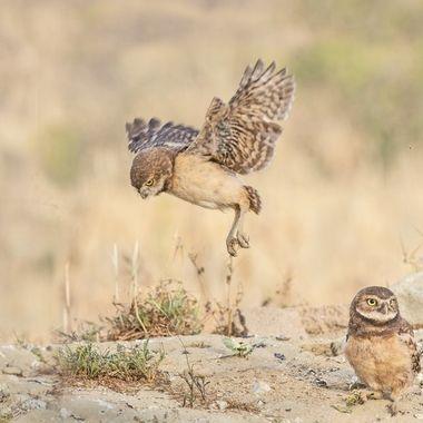 Burrowing Owl Fledgling DSC00692
