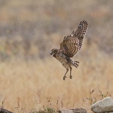 Burrowing Owl Fledgling DSC01748