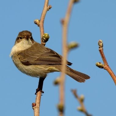 The whitethroat is a medium-sized warbler, about the size of a great tit. It has quite a long tail which it flicks and cocks as it darts rapidly in and out of cover.