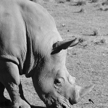 Jabari the Rhino