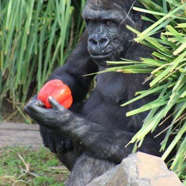 Beautiful Kisane the male gorilla
