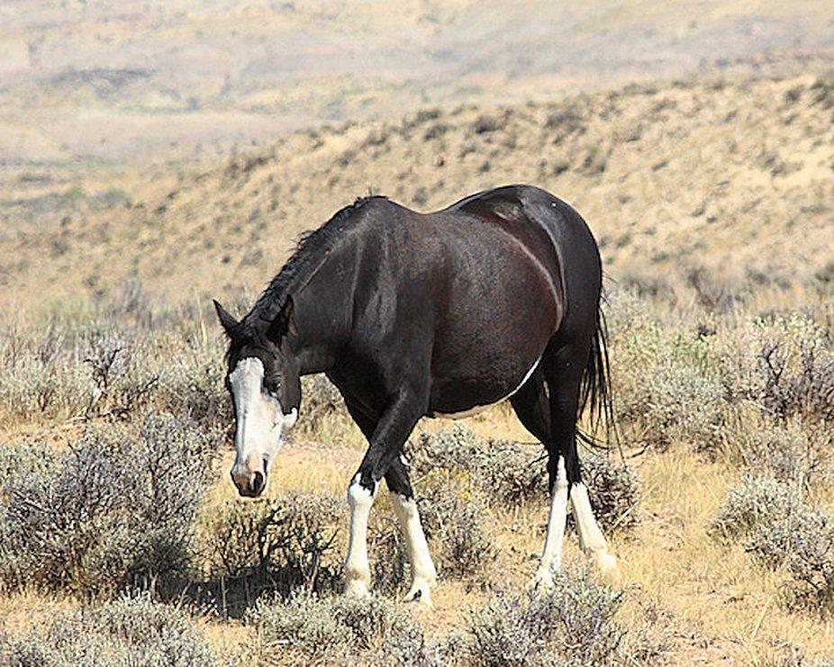 Wild horse from Sandwash Basin in Colorado