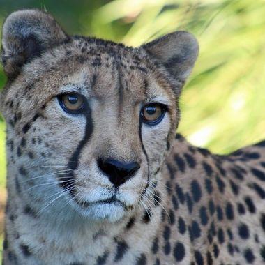 Beautiful face of a cheetah
