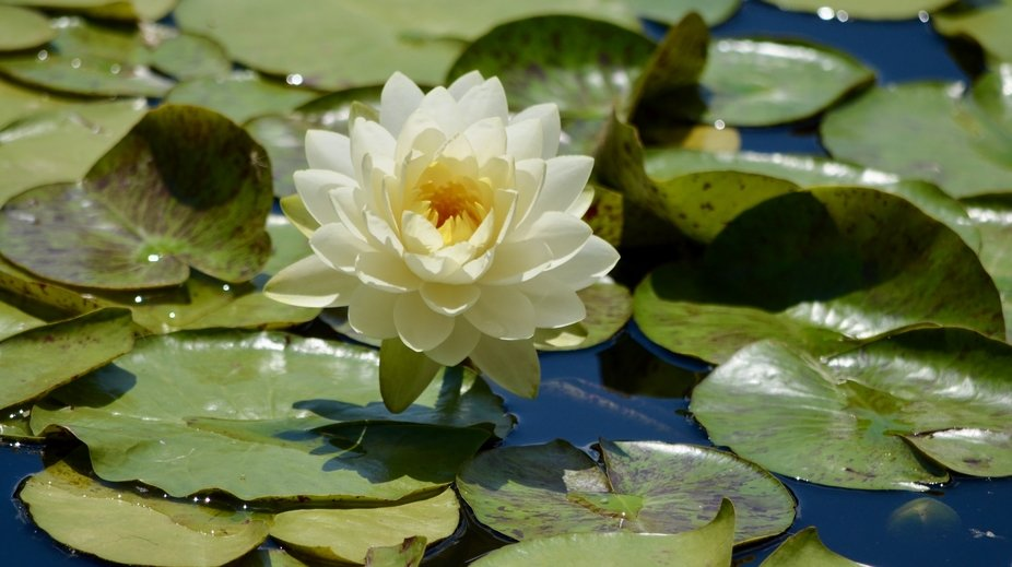 At the Denver Botanic Gardens in Colorado, they have an outstanding waterlily collection.  Here&a...