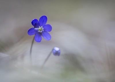 Hepatica flower det