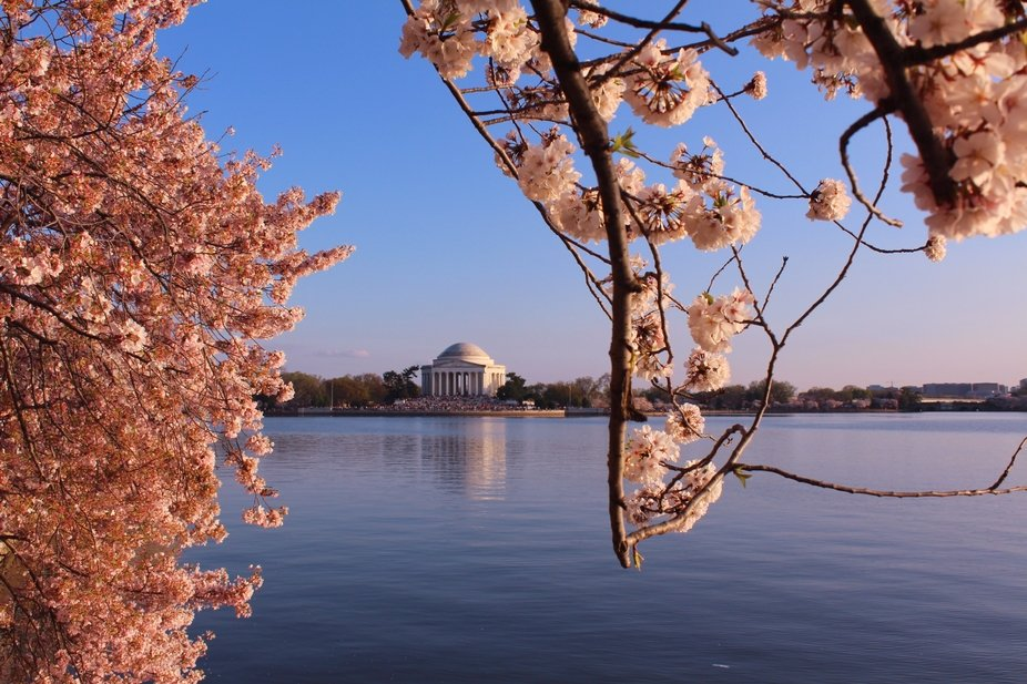 This photo was taken at the Cherry Blossom in Washington DC. The branches and blooms perfectly fr...