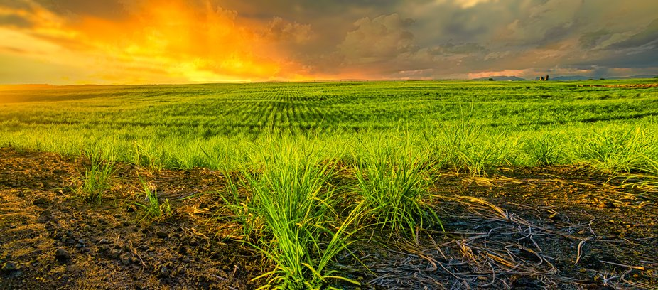 Sunset-and-Sugarcane-fields-panorama