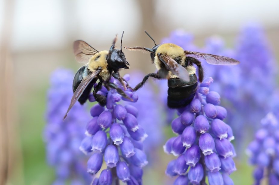 I love to photograph bees, they're my favorite subjects. Bumble bees are fun to observe ...