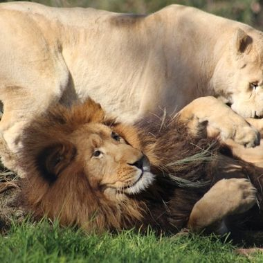 Lion pair playing