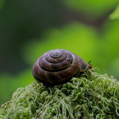 There is a snail inside the shell
