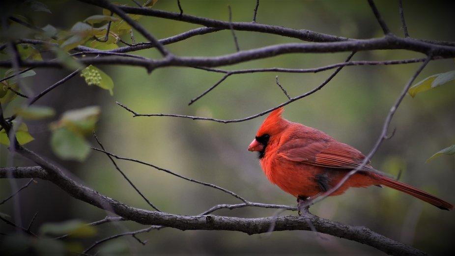 Male Cardinal #23