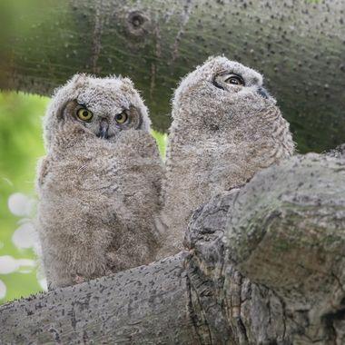 Great Horn Owl baby DSC05866