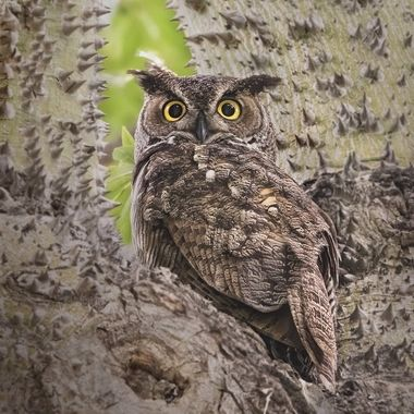 Great Horn Owl DSC07587