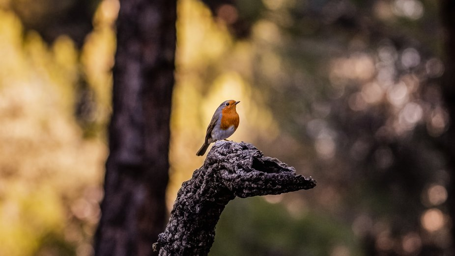 Robin, The Lord of the Forest.