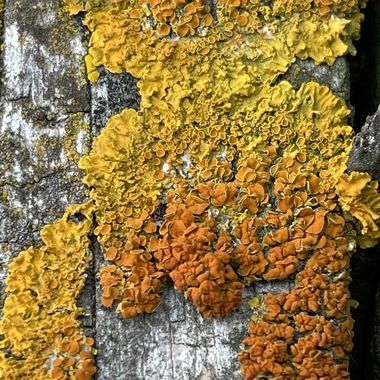 On the top rail of the back fence these colourful Lichens grow