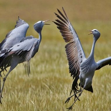 Once off opportunity to get a pic of the blue crane mating dance