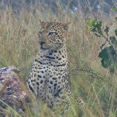 I was on a lion kill waiting for the lions to return to feed when out of the mist a leopard approached and started feeding