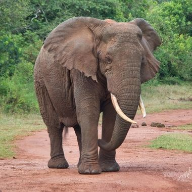 A bull elephant leaving a waterhole in Akagera National Park