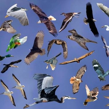 Birds in flight - How many can you identify?
