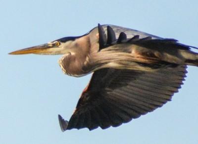 Morning flight - Great Blue Heron