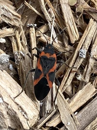 tiny milkweed bug